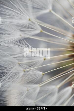 Estratto di semi di tarassaco in giardino Foto Stock
