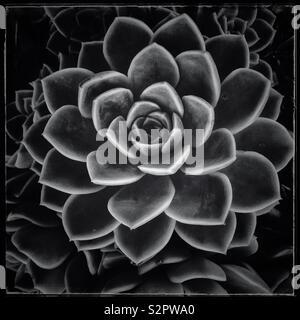 A forma di rosa succulenti. Foto in bianco e nero. Foto Stock