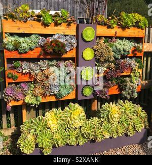 Parete di piante succulente a Tremenheere giardini di scultura- Cornwall Regno Unito Foto Stock