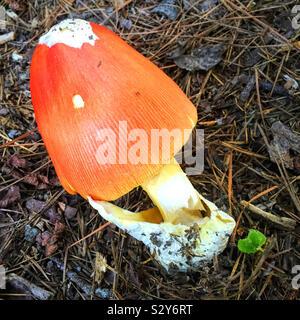 Un colore arancio Amanita funghi che ha un gambo bianco è in crescita in una zona boschiva in Georgia durante il mese di agosto. La messa a fuoco in primo piano.