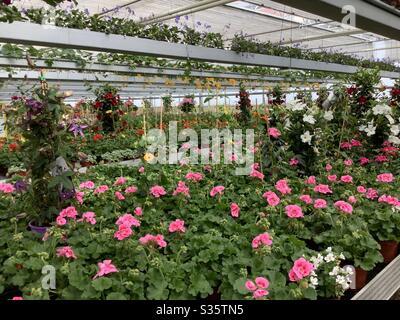 Serra della stanza dei bambini piena dei fiori di giardino fiorenti in primavera Foto Stock