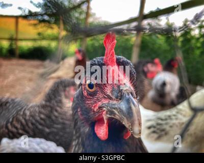 Polli attraverso una recinzione di filo