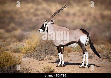 Ritratto Gemsbok nel parco di Kgalagadi Sud Africa, Oryx gazella