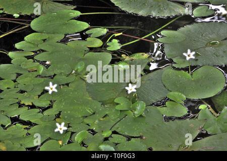 Acqua il simbolo del fiocco di neve (Nymphoides indica) fioritura in un laghetto di acqua dolce a Diani Beach, Kenya Foto Stock