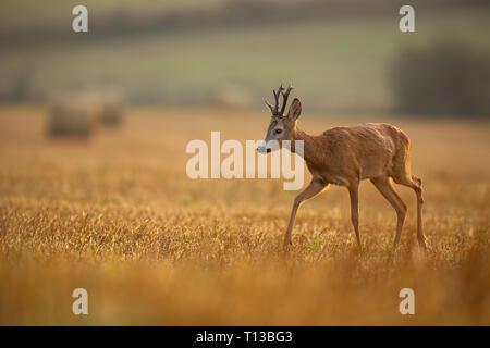 Selvatica caprioli camminando su un stoppia in ambiente agricolo. Foto Stock