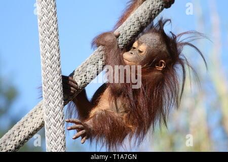 Orangutan del bambino Foto Stock