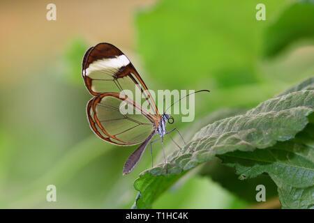 Close up di un glasswing butterfly (greta oto) su una foglia Foto Stock