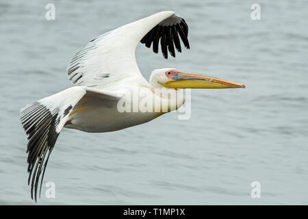 Great White Pelican - Pelecanus onocrotalus, bianco grande uccello di mare dalla costa africana, Walvis Bay, Namibia. Foto Stock