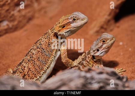 Due giovani draghi barbuti close up nel suo terrario Foto Stock