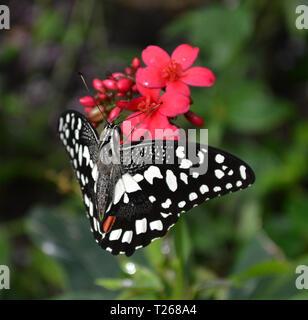Un bianco e nero di farfalle tropicali a Stratford-upon-Avon Butterfly Farm, Warwickshire, Inghilterra, Regno Unito Foto Stock