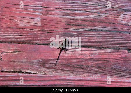Piccolo lizzard sul legno rosso in Puerto Rico