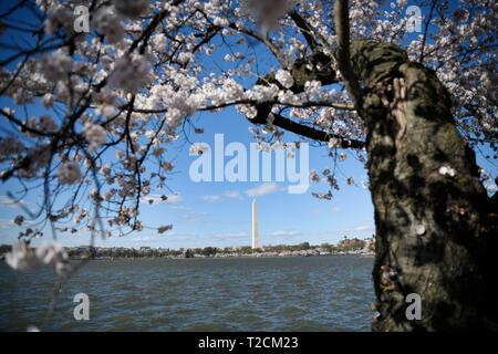 Washington, Stati Uniti d'America. 31 Mar, 2019. Fiori di Ciliegio sono visti intorno al bacino di marea in Washington, DC, Stati Uniti, il 31 marzo 2019. La fioritura dei ciliegi ha raggiunto il picco del blumo lunedì. Credito: Liu Jie/Xinhua/Alamy Live News Foto Stock