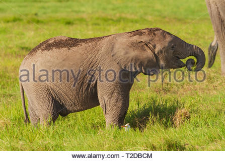 Elephant baby felicemente mangiare erba e divertirsi trunk di curling Amboseli National Park Foto Stock