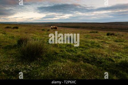 Il North York Moors National Park all'alba con una vista del cotone erba, campi, bestiame e paesaggio in primavera, Levisham, nello Yorkshire, Regno Unito. Foto Stock