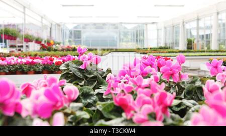 Sfondo serra piena di ciclamino fiore piante, immagine panoramica con spazio di copia Foto Stock