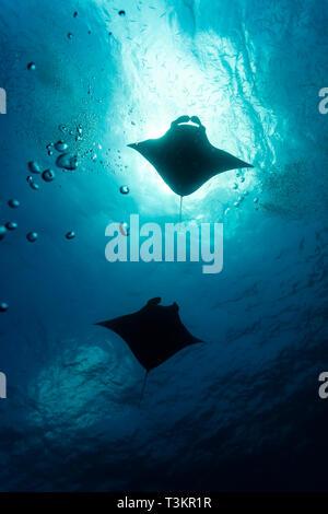 Silhouette di gigante oceanic mante, Manta birostris, in Palau Foto Stock
