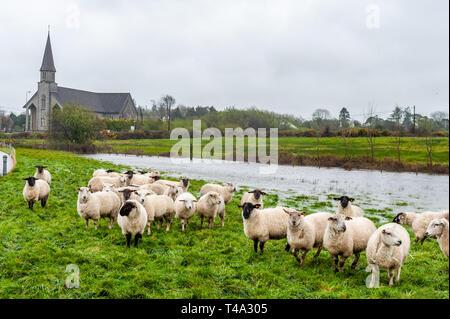 Caheragh, West Cork, Irlanda. Xv Apr, 2019. Molto di Irlanda è attualmente nel mezzo di un arancio lo stato di avviso di precipitazioni, rilasciati da Met Éireann. Molti campi in West Cork sono inondati dopo numerosi fiumi hanno rotto gli argini a causa della pioggia torrenziale. Questo gregge di pecore sono rimasti bloccati dalle inondazioni. Credito: Andy Gibson/Alamy Live News. Foto Stock