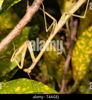 Sub-erba adulti Mantis (Archimantis latistyla), Cairns, estremo Nord Queensland, QLD, FNQ, Australia Foto Stock