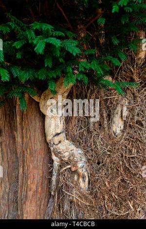 Abgestorbener Efeustamm un alter Eibe, Inghilterra, Hedera helix Foto Stock