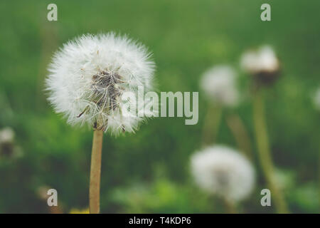 Close up di tarassaco (Taraxacum officinale) con soft sfondo verde Foto Stock