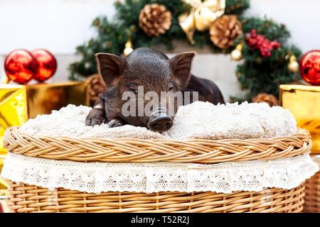 Uno nero suini di razza vietnamita si siede in un cesto di vimini vicino alla decorazione di Natale. Concetto del nuovo anno. Foto Stock