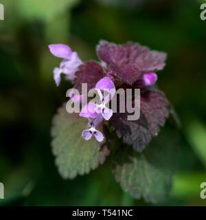 Red Dead-ortica (Lamium purpureum), Warwickshire, Regno Unito