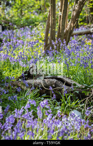 Bluebells sul suolo della foresta che circonda gli alberi e i registri