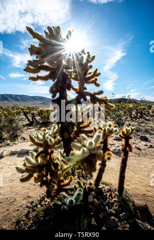 Tall cholla cactus con raggiera o sun flare a Joshua Tree National Park, California, w/ cielo blu, il bianco delle nuvole, e il paesaggio dietro (veritical). Foto Stock