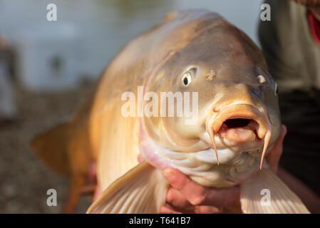 Le avventure di pesca, la pesca alla carpa. Specchio carpa (Cyprinus carpio). Il pescatore con un grande carpa pesca trofeo. Foto Stock