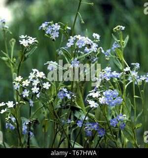 "L'acqua ""non ti scordar di me"", Myosotis scorpioides, Myosotis palustris Foto Stock"