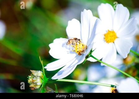 Il galleggiante come una farfalla pungiglione come un' ape. bianco bellissimi fiori di essere impollinata da un ape.