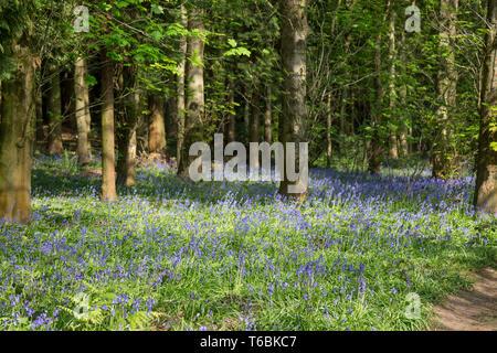 Bluebell wood, Gran Bretagna. Inglese bluebells comuni (Hyacinthoides non-scripta) in naturale bosco del Regno Unito.