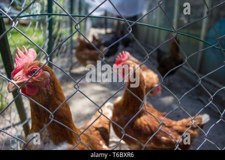 Polli marrone attraverso una maglia a filo