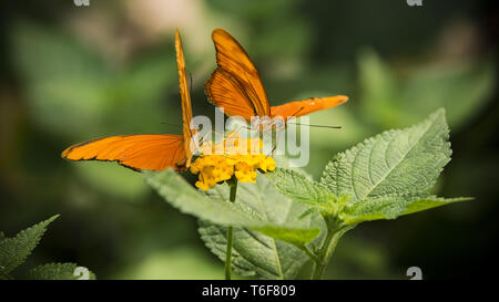 Due Dryas Iulia farfalle Foto Stock