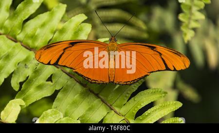 Julia Heliconian (Dryas iulia) farfalla Foto Stock