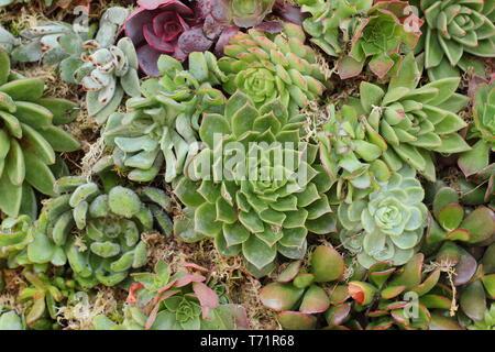 Sempervivum. Semprevivo succuelnts formano un muro vegetale in un giardino verticale, REGNO UNITO Foto Stock