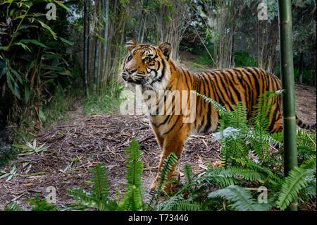 Posizione: Attualità foreste pluviali di Sumatra. In pericolo critico Foto Stock