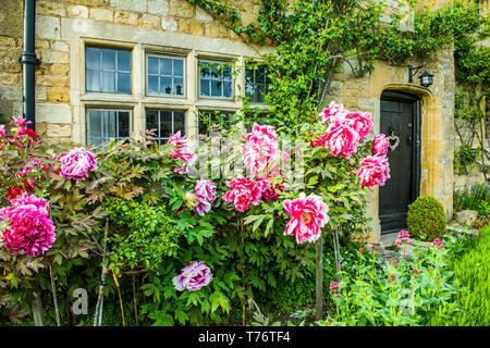 Grande abbastanza peonia fiori nel giardino frontale di un cottage in pietra in Stanton in Cotswolds all inizio di maggio Foto Stock