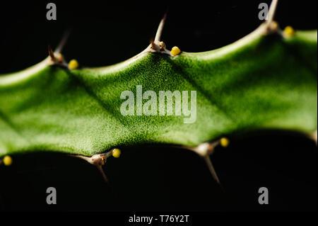 Abstract chiudere l immagine di un cactus coperti con ricchi dettagli in una raffinata arte macro immagine con una macchia e isolamento sullo sfondo Foto Stock