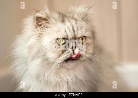 Il persiano Cat. Funny vecchio gatto persiano leccare Paesi Bassi Foto Stock
