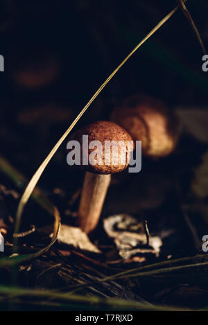 Testa a fungo di miele in una foresta in autunno e la caduta stagione Foto Stock