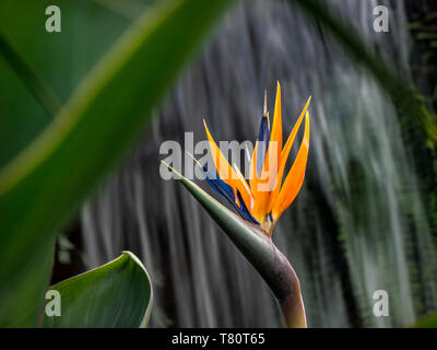"""Strelizia reginae """"uccello del paradiso"""" in crescita in un verde tropicale caldo situazione con cascata dietro, piante erbacee perenni del genere strelitziaceae Foto Stock"""