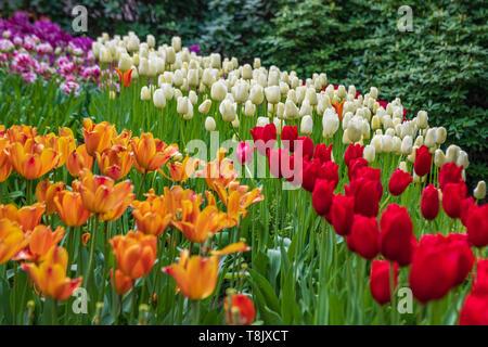 Multi-colore di tulipani & tulip letto - Giardini Keukenhof - fiori di primavera in Olanda - i tulipani nei Paesi Bassi - Tulipa specie - famiglia Liliaceae Foto Stock