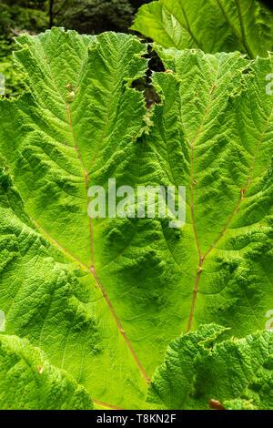 Fotografia in formato ritratto di rabarbaro gigante Gunnera foglia (Gunneraceae) a colori. Branksome giardini, Poole, Dorset, Inghilterra. Foto Stock