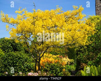 Il fogliame di colore giallo di Quercus rubra 'aurea' domina una vista in il giardino murato al Garden House, Buckland Monachorum, Devon Foto Stock