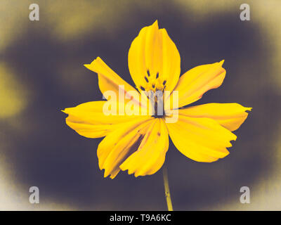 Campo Fiore cosmos. dove il sole è in aumento.tono giallo.estate primavera tempo.sullo sfondo della natura