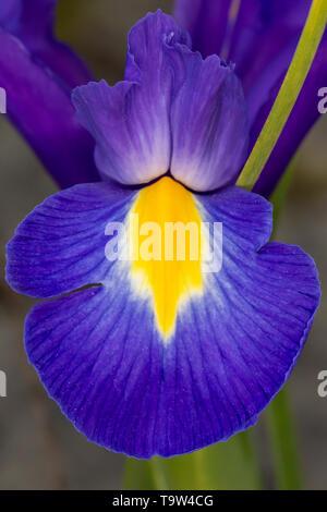 Blue Violet Iris Iridaceae petalo di fiore close up su sfondo grigio Foto Stock