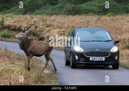 Il cervo (Cervus elaphus). Feste di addio al celibato in piedi di fronte a un'auto. Highlands scozzesi, Scozia, Gran Bretagna
