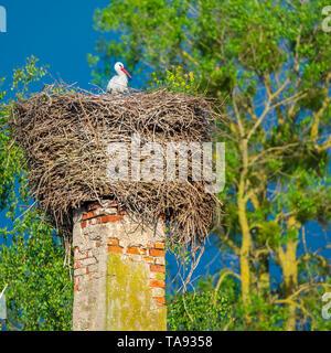 La cicogna si siede nel suo nido dell'Assemblea sulla pila nella primavera soleggiata sera