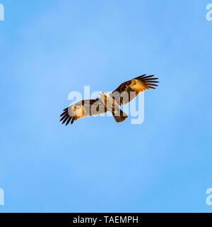 Vista sulla piazza di un bambino Brahminy kite in India. Foto Stock